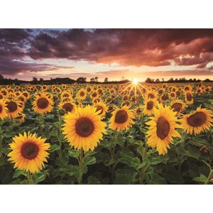 Puzzle: 1000 Field of Sunflowers At Dusk